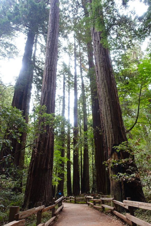 Redwood trees that smell nicely in Muir Woods National Monument