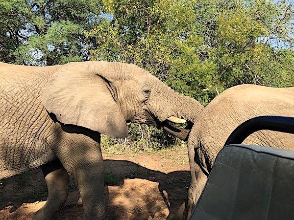 close-elephant